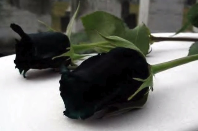 rosa-nera-bocciolo