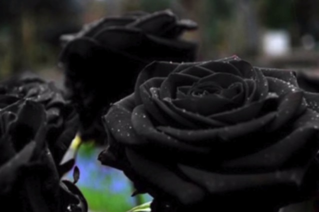 rosa-nera
